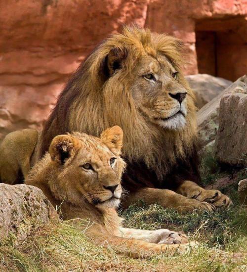 Wildlife: Lions at Lake Manyara