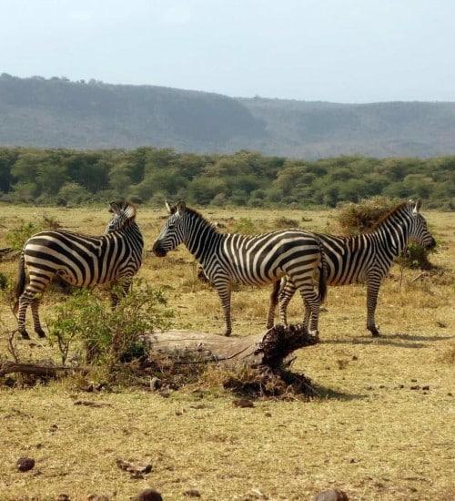 Lake Manyara National Park Zebra